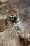 Leopard relaxing. Royalty Free Stock Photos