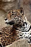 Leopard relaxing. Royalty Free Stock Images