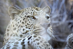 Leopard relaxing. In long grass Stock Photography