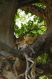 Leopard relaxing in tree royalty free stock photos