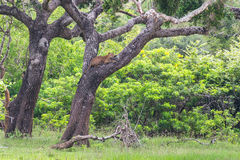 Leopard relaxing on a tree Royalty Free Stock Photos