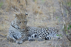 Leopard relazing in the bush Royalty Free Stock Image