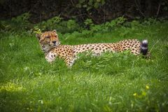 A Leopard rest in the Tree Shadow royalty free stock photos
