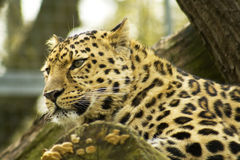 Leopard resting. On a tree royalty free stock photography