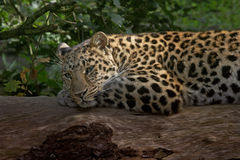 Leopard resting. An Amur Leopard relaxes on a fallen tree. It is named after the Amur river on the border between Russia and China Stock Images