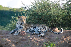 Leopard resting. Leopard (panthera pardus) resting, Namibia Stock Image