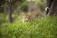 Leopard resting Royalty Free Stock Image