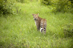 Leopard resting Stock Images