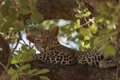 Leopard resting on a branch in the Ruaha national park. Royalty Free Stock Images