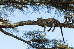 Leopard resting on a branch, Serengeti Royalty Free Stock Photography