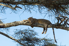 Leopard resting on a branch, Serengeti Stock Photo