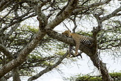 Leopard resting on a branch, Serengeti Royalty Free Stock Image