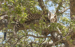 Leopard resting. In the branches of a tree royalty free stock photo