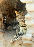 Leopard resting in cave - Panthera Pardus Stock Image