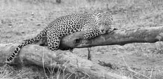 Leopard resting on a fallen tree log rest after hunting artistic Stock Photography