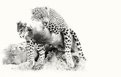 Leopard resting on fallen tree log to rest after hunting artisti Royalty Free Stock Images