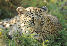 Leopard resting. Female leopard resting after a kill close to Kruger park South Africa stock photos
