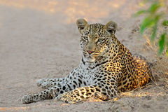 Leopard resting Stock Photography