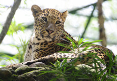 Leopard resting Royalty Free Stock Images
