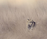 Leopard Resting in Grass Stock Images