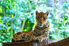 Leopard resting lying on a background of lush tropical vegetation Royalty Free Stock Photo