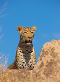 Leopard resting on the rock Stock Image