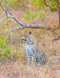 Leopard resting in savannah Stock Images