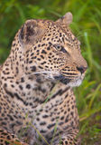 Leopard resting in savannah Royalty Free Stock Images
