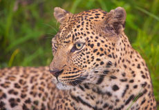 Leopard resting in savannah Stock Photography