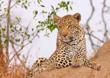 Leopard resting in savannah Royalty Free Stock Image