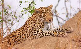 Leopard resting in savannah Royalty Free Stock Photos
