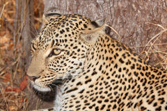 Leopard resting in savannah Stock Image