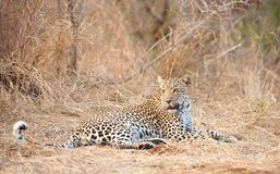 Leopard resting in savannah Royalty Free Stock Photography
