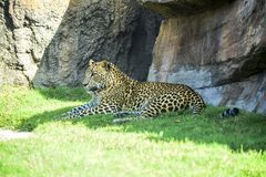 Leopard resting in the shade. Next to a stone stock photos
