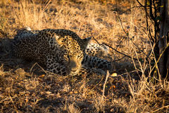 Leopard resting in the shade in the bush during morning Royalty Free Stock Images