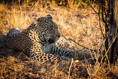 Leopard resting in the shade in the bush during morning Royalty Free Stock Photos