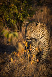 Leopard resting in the shade in the bush during morning Stock Images