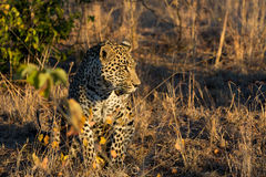 Leopard resting in the shade in the bush during morning Royalty Free Stock Image