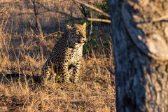 Leopard resting in the shade in the bush during morning Stock Image