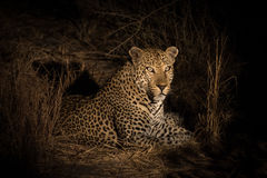 Leopard resting in the shade in the bush a night Royalty Free Stock Images