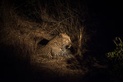 Leopard resting in the shade in the bush a night Stock Images