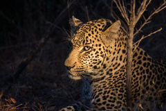 Leopard resting in the shade in the bush a night Royalty Free Stock Photos