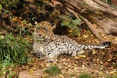 Leopard is resting in the shade Stock Photography