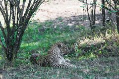 Leopard resting in the shade of a tree close up. Kenya, Africa stock images
