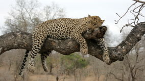 Leopard resting in tree Stock Photo