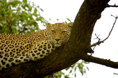 Leopard. Resting on a tree Royalty Free Stock Images