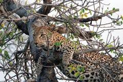 Kruger Leopard. Leopard resting in tree after a big meal in Kruger National Park, South Africa Royalty Free Stock Photos