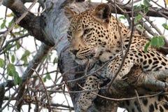 Kruger Leopard. Leopard resting in tree after a big meal in Kruger National Park, South Africa Royalty Free Stock Photo