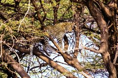 Leopard Resting on a Tree Branch Stock Images