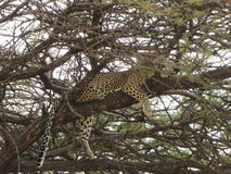 Leopard resting on a tree. After eating a prey in Serengeti (Tanzania Royalty Free Stock Images